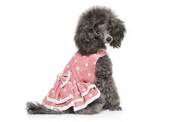 Toy poodle sitting in fashionable dog clothes