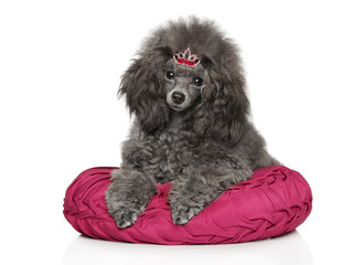 Young Gray Toy poodle on white background