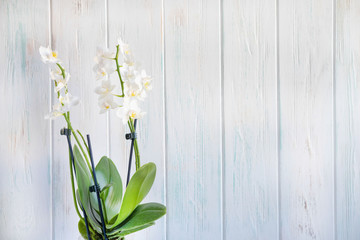 Wall Murals Lily of the valley Photo of a white orchid flower on a white wooden background with a place for copy space.
