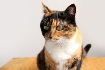 beautiful adult domestic cat with smart eyes, black, brown and white color, close-up, copy space