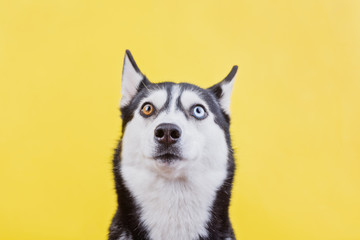Surprised husky dog on a yellow studio background, the concept of dog emotions