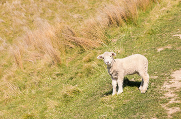 closeup of curious newborn lamb standing on grassy meadow