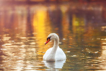 Foto op Aluminium Zwaan White swan in profile on the water surface of the lake, in autumn colors. Beautiful reflections and glare of sunlight on the water