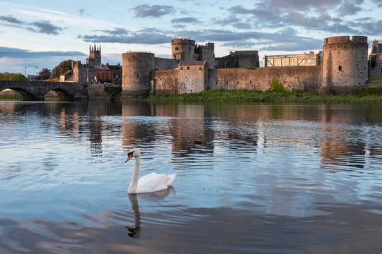 Swan on the Shannon river with King John's castle in the background. Limerick, Ireland. May, 2019