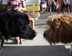 black dog and fuzzy dog meet noses