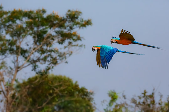 Two beautiful Blue-and-yellow macaws in flight to the right against defocused lakeshore with reflections, wings up, Amazonia, San Jose do Rio Claro, Mato Grosso, Brazil