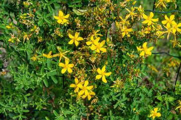 yellow flowers of St. John´s wort or hypericum perforatum