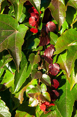 climbing vine changing color in autumn from green to red