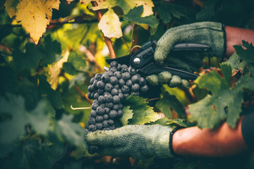 Grapes in hand, harvest in autumn. Fototapete