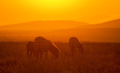 Photo sur Aluminium Rouge mauve Zebra feeding in a morning light at Masai Mara Game Reserve,Kenya,Africa