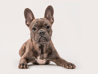 Cute french bulldog seen from the front lying on a grey background