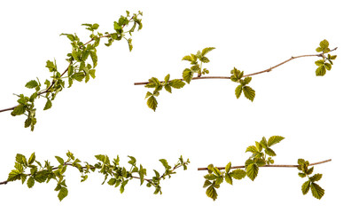 raspberry bush with young green leaves. isolated on white