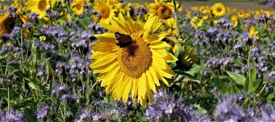 Sonnenblume mit Schmetterling Fotoväggar