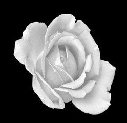white rose blossom monochrome macro,black background,detailed texture,vintage painting style