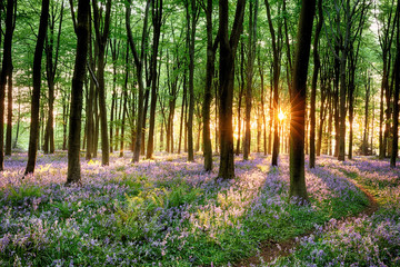 Garden Poster Beautiful morning Bluebell forest path at sunrise