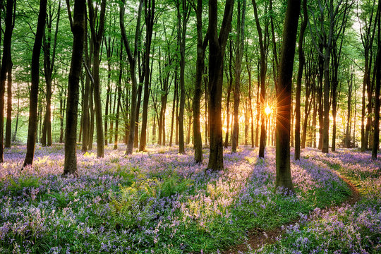 Bluebell forest path at sunrise