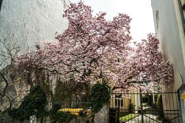 Papiers peints Fleur de cerisier Couleur du Printemps