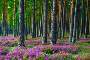 Obraz Sunny day. Blooming heather. Beautiful lawn in the forest. - fototapety do salonu