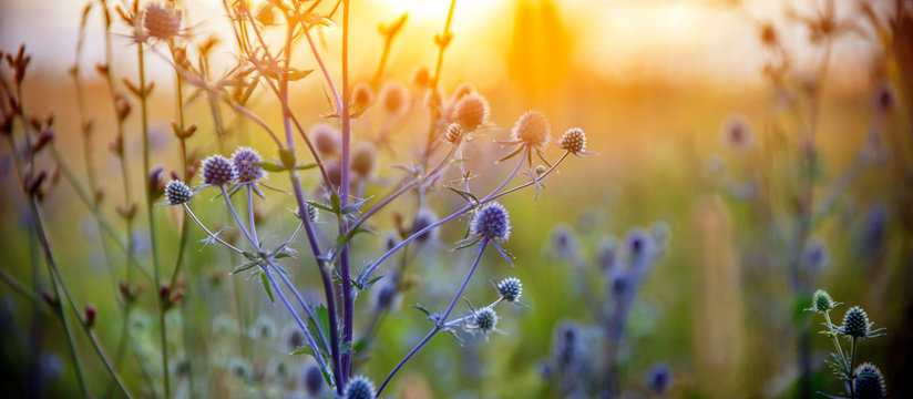 Healing herbs. Eryngium planum. Blue Sea, violet holly healthcare flowers. soft focus, macro view