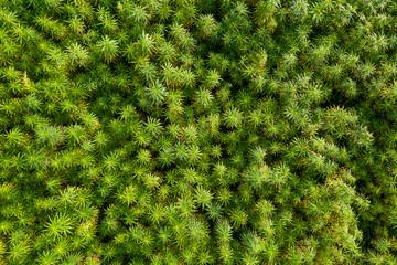 Aerial top view of a beautiful marijuana CBD hemp field Fotoväggar