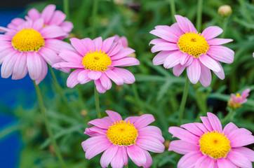 In de dag Madeliefjes purple daisy flower with green blurry bokeh background