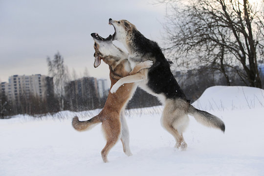 Two mongrel dogs fighting over a snow backgroung