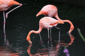 Photo sur Aluminium Flamingo flamant rose