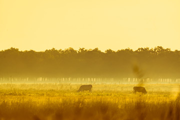 Wall Mural - Cows on foggy pasture