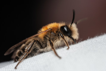 Andrea nitida solitary bee