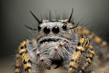 In de dag Macrofotografie Closeup of a female Phidippus mystaceus jumping spider