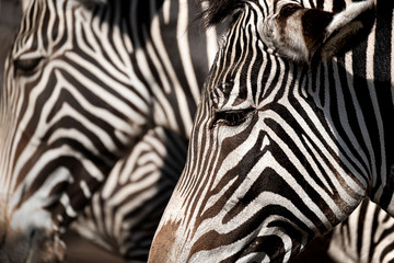 Aluminium Prints portrait of a zebra, another out of focus in the background
