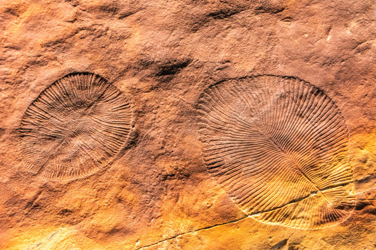 Hollows left by Dickinsonia specimens in seafloor mats. Dickinsonia are species in the Ediacara biota.
