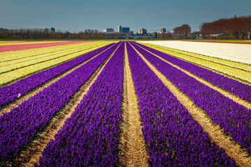 Canvas Prints Violet field of tulips in netherlands
