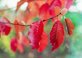 Bright red fall foliage of the pin cherry Prunus pensylvanica, a small, native north American wild tree.