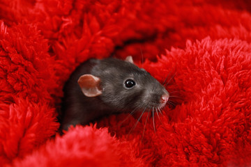 Cute little rat wrapped in red fluffy blanket