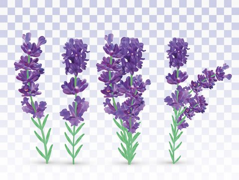 Collection violet lavender with green leaf isolated on transparent background. Bunch flower. Lavender close up. Fragrant lavender. Vector illustration