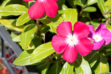 Close-up of vinca vine (magenta) flower.