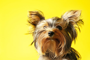 Adorable Yorkshire terrier on yellow background, closeup. Cute dog