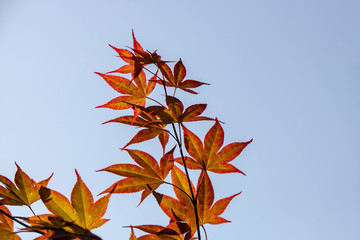 Close-up of leaves of Japanese maple tree.