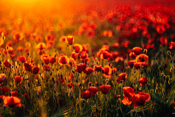 Full frame shot of fresh poppy flowers blooming on field during sunset