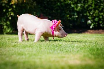 Ferkel mit pinkfarbiger Schleife steht in einem Garten