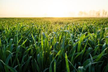 Acker mit jungen Maispflanzen