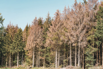 Klimawandel - Fichtensterben im Wald