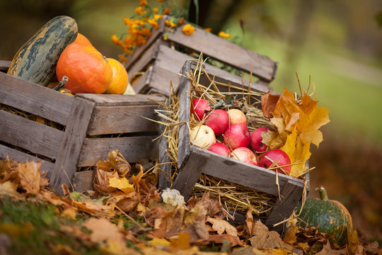 Autumn decor in the garden. Pumpkins, vegetable marrow  and red apples lying in wooden box on autumn background.  Autumn time. Thanksgiving Day.