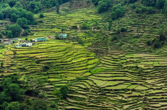 Terrace rice fields near Chopta,Uttarakhand,India