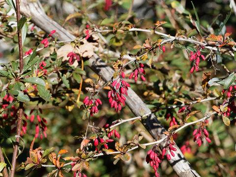 (Berberis vulgaris) Epine-vinette, un arbrisseau épineux aux tiges arquées, aux petites feuilles dentelées vert et rougeâtre, aux grappes de baies ovales rouges pourprées