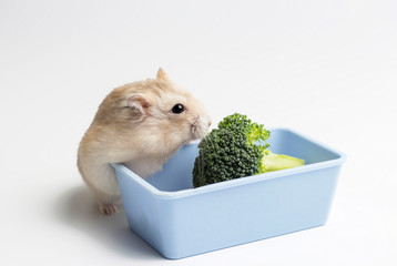 Dwarf furry hamster and broccoli in feeding trough on white background