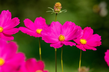 Photo sur Plexiglas Rose Pink cosmos flower, floral summer landscape.