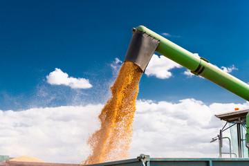 Unloading corn maize seeds.
