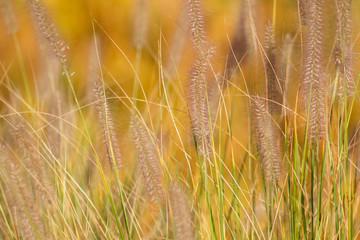 Fuchsschwanz-Federborstengras im Herbst